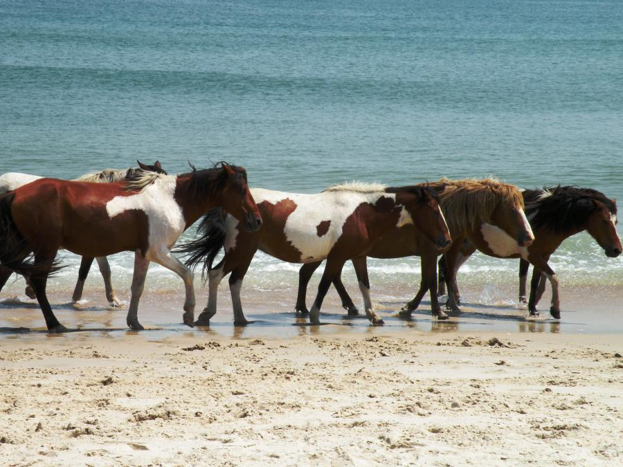 Ateague Island State Park Is The Only Oceanfront In Maryland Famous For Its Secluded Beaches Diverse Wildlife Wild Horses And Thrilling Water