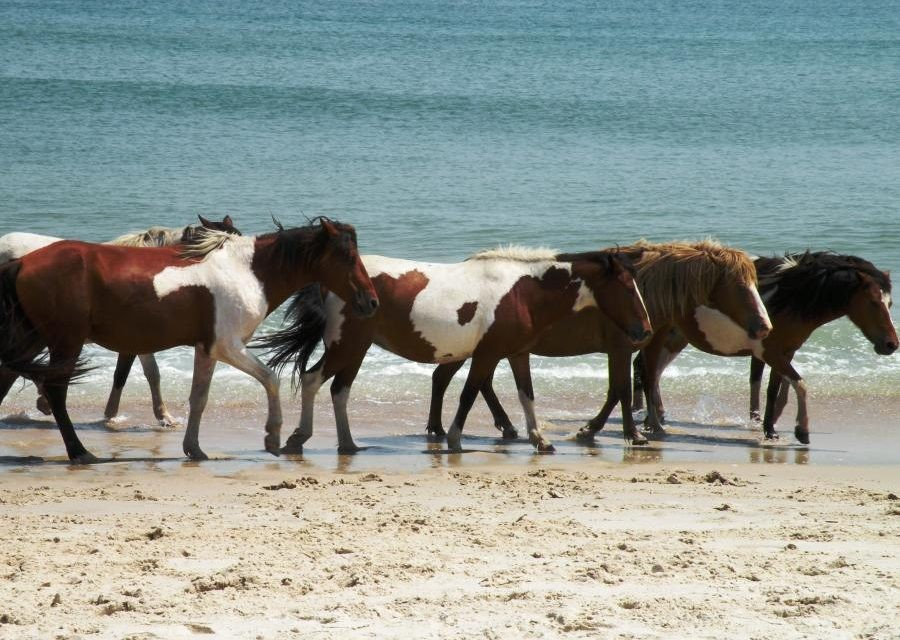 AssateagueIslandStatePark 900x640 The best travel tips to help tourists have a successful vacation in Ocean City