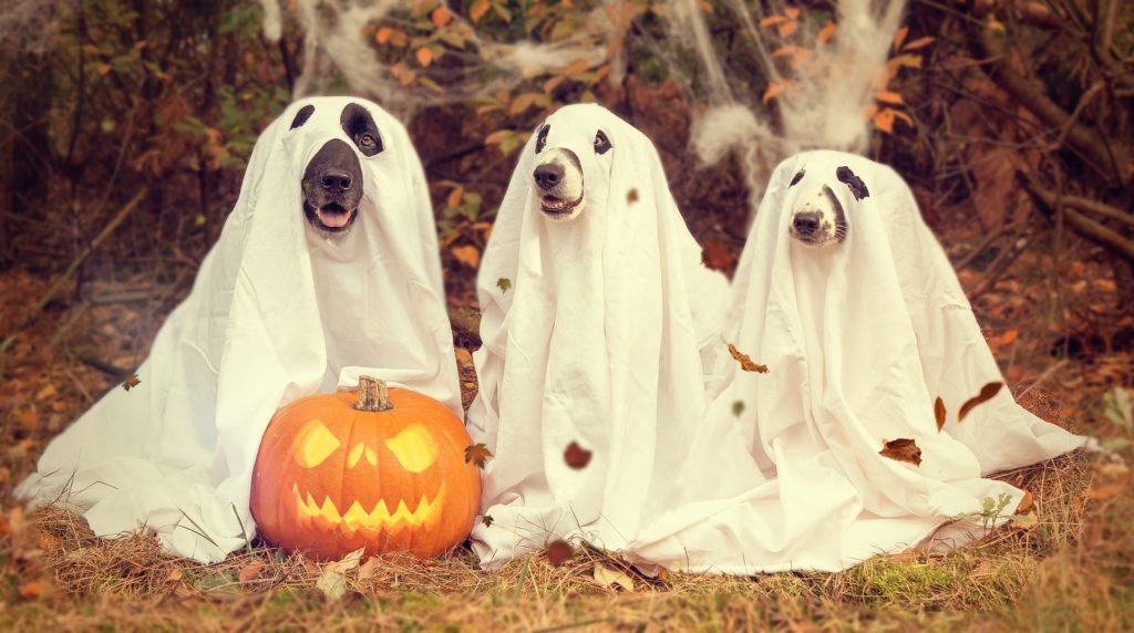 three dogs dressed up as ghosts with pumpkin